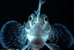 Рыба из Антарктики – источник молодости