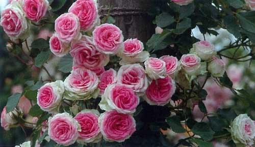 Выбираем саженцы роз