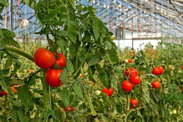 Особенности ухода за томатами