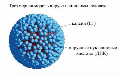 Вирус папилломы человека или ВПЧ