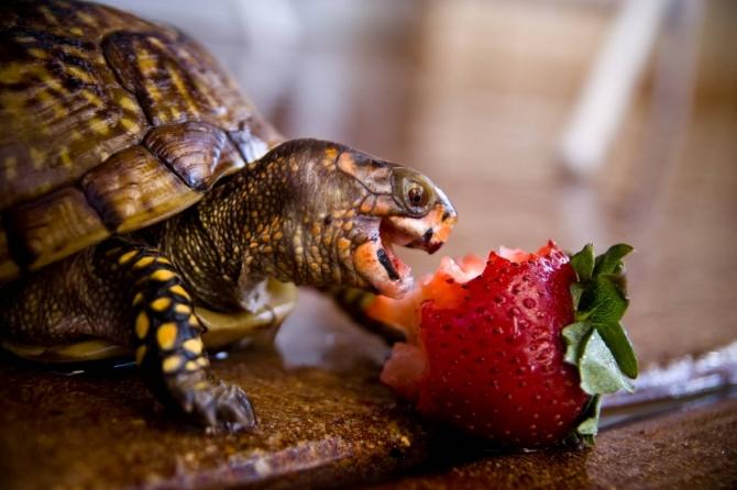Заводить ли черепаху? «За» и «против»